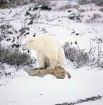 The Polar Bear and ist resting place in the tundra