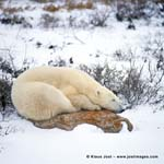 Polar bear on a rock at the Hudson Bay