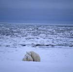 Polar bears in the huge Hudson Bay