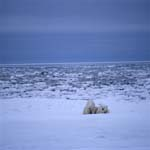 Two polar bears in the Arctic