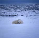 Two polar bears in the ice desert