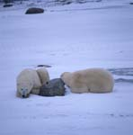 Rest is important in the life of the polar bears