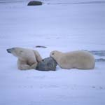 Two tired Polar Bears in the Hudson Bay