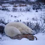 Tired polar bear on a Tundra Stone