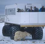 Polar bears under the tundra buggy