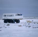 Polar Bears and Tundra Buggy
