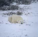 A relaxed polar bear