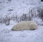 Lying polar bear in the tundra