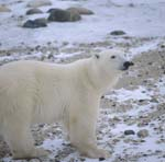 Polar Bear Ursus maritimus in the tundra