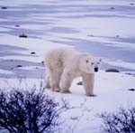 Polar bear roams the tundra