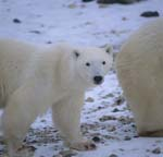 Polar Bears in the Hudson Bay