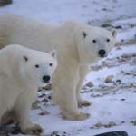Eye to eye with two polar bears in the Hudson Bay