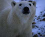 Polar Bear portrait