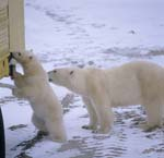 Polar bears on the tundra buggy