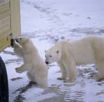 Polar bears investigate the tundra buggy