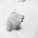 Polar Bear in the Tundra