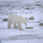 Polar bear in the cold desert