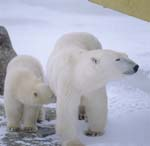 Polar Bear with young in the Hudson Bay