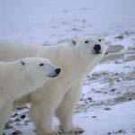 Polar bears in the tundra