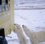 Curious polar bears on the tundra buggy