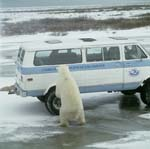 Polar Bear on the van