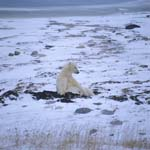 Polar Bear in the Hudson Bay