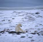 Patient Polar Bear in the Tundra